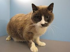 Looking for a dignified, older cat to lounge on the couch with? Then meet Ash! He is an easygoing guy who likes to sit and chat with his closest friends. Not much is known about Ash's history with other animals or children, but we strongly recommend a quiet home with older, more cat-savvy kids or adults only. Could you be Ash's new best friend?