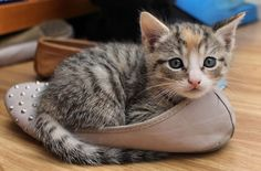 If the shoe fits......I sits, of course!  #cats #kittens