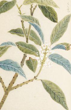 金木犀 Osmanthus 本草図譜, Honzo-Zufu, KanEn Iwasaki (1830)