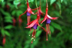 chilco (fuschia) plants Flora, Tattoo, Christmas Ornaments, Holiday Decor, Outdoor Decor, Plants, Native Plants, Landscape Photos, Bicycle Kick