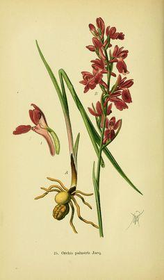 Abbildungen der in Deutschland und den angrenzenden gebieten vorkommenden grundformen der orchideenarten Berlin,R. Friedländer & sohn,1904. biodiversitylibrary.org/page/15349864