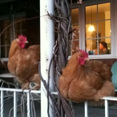 Roosting On The Porch