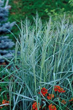 Prairie Sky Blue Switch Grass - Zones 4-9 - partial/full sun Fast growth to about 5 ft. tall in bloom, 2 to 3 ft. wide.