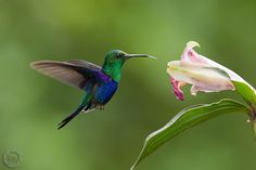 kolibřík - Hledat Googlem