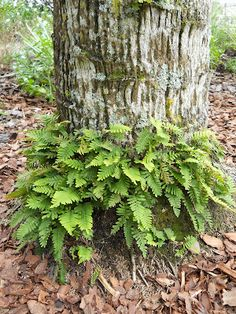 1000+ images about Ferns on Pinterest | Tree fern, Holly ... Ruffled Birds Nest Fern For Sale