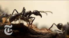 Ants Use Bodies As Building Blocks To Form Living Eiffel Tower | Science...