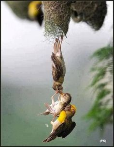 Amazing photo capture of baby bird being save after falling from the nest