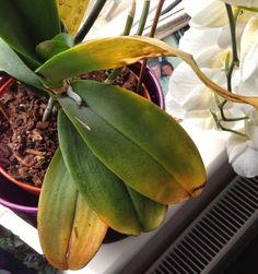 Orquídeas com Manchas nas Folhas ? Prevenção e tratamento.