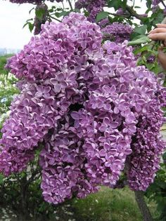 Lilacs were my granddad's favorite flower and I love them too!