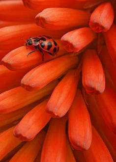 A ladybug on some Kniphofia buds. photo by Todd Schorr .˛. ˛ • ° ˛˚˛ *•。★ ˚ ˚*