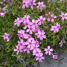 Floks szydlasty o fioletowych kwiatach