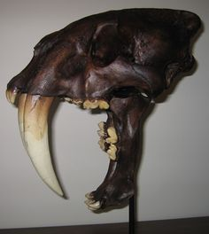 The saber-toothed tiger did not open its jaws widely to catch its prey.  Like any cat, it was keen on expressing its boredom.