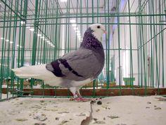 Pigeon Breeds, Birmingham, Pakistan, Birds, Fancy, Life, Animals, Farm Animals, Animales