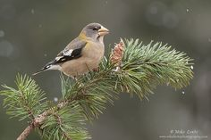 Evening GB female on pines | by Mike Lentz Photography