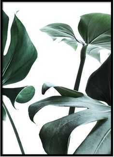 Botanical poster with motif of the popular Monstera plant in close-up. Monstera has become an massively popular plant in many ho Poster Mural, Poster Prints, Poster Xxl, Poster Shop, Lion Poster, Poster Poster, Nature Posters, Love Posters