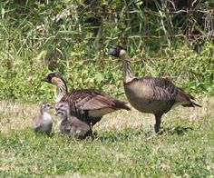 Nene and goslings at James Campbell NWR. Photo credit: USFWS  For the first time since the 1700s, a pair of the endangered Hawaiian geese have nested and successfully hatched three goslings at the James Campbell National Wildlife Refuge near Kahuku, Oahu.