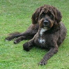 Boxerdoodle | 22 Awesome Poodle Mixes That You Totally Need To Know About