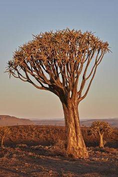 African Tree, Quiver, Ways Of Seeing, Botanical Art, Daffodils, Botany, Find Art, Framed Artwork, Aloe