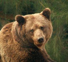 **bear
