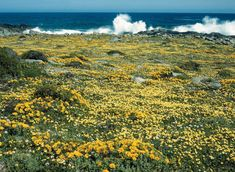 The beautiful flowers of Postberg praise the sun along the Cape's West Coast, South Africa. Coastal Gardens, Beach Gardens, Parc National, National Parks, Le Cap, Coastal Landscaping, Out Of Africa, Blog Voyage, Holiday Destinations