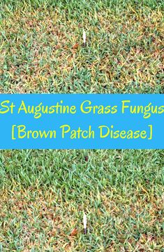 Brown Patch Disease In St Augustine Grass This Guide Will Help You Identify The Signs And Treat Fungus In St August In 2020 St Augustine Grass Grass Care Grass Patch