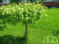 """rungollinen lumipalloheisi on miniatyyripuu: """"pensas"""" rungon päällä"""""""