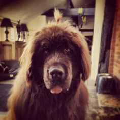 Topknot #newfoundland #fluffy #beautiful #cuddleman