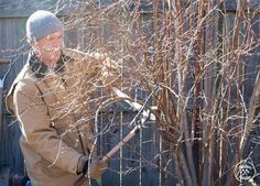 Pruning blueberries is not a priority for most home gardeners, but the reward for good work is larger berries and long lived plants. Fruit Plants, Fruit Garden, Edible Garden, Pruning Blueberry Bushes, Pruning Fruit Trees, Growing Blueberries, Organic Blueberries, Blueberry Tree, Zinnia Garden