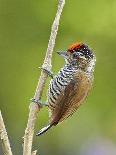 White-barred Piculet (Picumnus cirratus) is a species of bird in the family Picidae, the woodpeckers, piculets, and wrynecks. It is found in south-eastern Brazil south and west to the Pantanal, and into south-eastern Bolivia, Paraguay and northern Argentina.