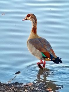 "Egyptian Goose.  ""Be humble, for you are made of earth; be noble, for you are made of stars."" - Slavic saying"