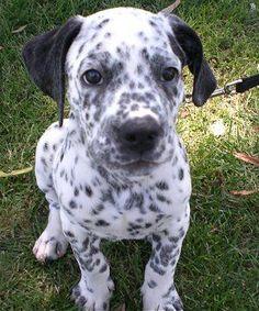 Bullmatian puppy (English Bulldog / Dalmatian Hybrid)