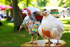 fowl fashions for pet chickens