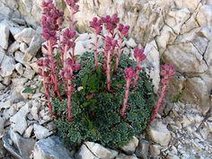 Saxifraga porophylla subsp. porophylla