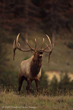 Bugling prairie bull