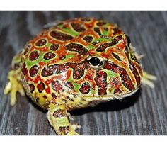 Ornate Horned Frog - live in the rainforests and pampas prairies of Uruguay, Brazil, and northern Argentina. Voracious eaters, horned frogs bury themselves in leaves or loose soil and pounce on small animals that blunder by.