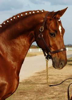A Trakehner Stallion being all georgeous.
