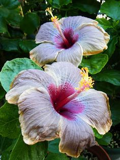 Cloudy Days (hibiscus family/gumamela)