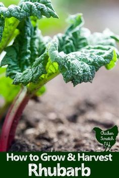 Everything you need to know about growing rhubarb. Where, when and how to plant as well as harvesting tips and some trouble shooting for everyone's favorite tart perennial #rhubarb #growrhubarb #vegetablegarden #perennialvegetable