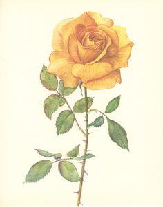 Rose Drawing Vintage Flower Print Rose Bettina by MarcadeVintagePrints on Etsy - Vintage Flower Prints, Vintage Flowers, Vintage Art, Vintage Yellow, Yellow Rose Tattoos, Yellow Tattoo, Natur Tattoos, History Tattoos, Rosen Tattoos