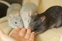 archerandfriends:  A ratty rainbow! From left to right: British blue agouti (Archer), quicksilver (Krieger), and silvered black (Cyril) :)