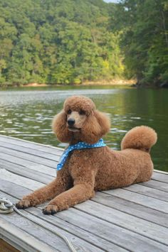 Apricot/red poodle