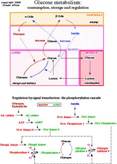 *** fed & fasted metabolism (pathways)