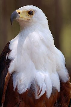 African Sea Eagle. His feathers are so fluffy they almost look like they could be fur instead. Such a beautiful bird ♡