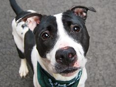 ★4/6/15 STILL THERE!! PLEASE PIN & SHARE THIS ADORABLE LITTLE BOY!!★Manhattan Center SNAP DRAGON - A1031436 NEUTERED MALE, WHITE / BLACK, AM PIT BULL TER, 4 yrs STRAY - STRAY WAIT, NO HOLD Reason STRAY Intake condition ILLNESS Intake Date 03/27/2015 https://www.facebook.com/photo.php?fbid=986378968041649