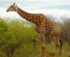 Giraffe reaches over the trees in Madikwe Private Game Reserve, South Africa.