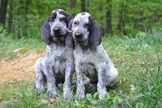 11 Dog Breeds Bred For Surprisingly Complex Reasons - dog information/knowledge charts - Hound Puppies, Hound Dog, Cute Puppies, Cute Dogs, Dogs And Puppies, Doggies, Hound Breeds, Dog Breeds, Hunting Shows