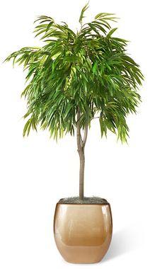 Ficus Ali (Ficus alii sp.) Aka 80's hair band plant