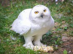 The snowy owl @ Ranua Zoo 2014