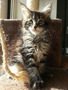 Magnifique femelle maine coon black silver tabby bloched