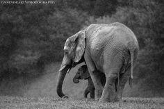 Mother Elephant protecting Baby Elephant.